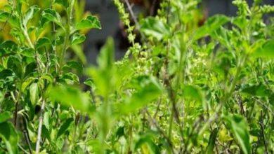 Photo of खास खबर : खस वैटीवर के रोपण से पहाड़ों पर हो रहे भूस्खलन को रोकना संभव